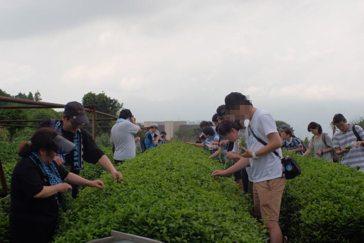 Soccer team supporters picking green tea at Nihondaira, Japan