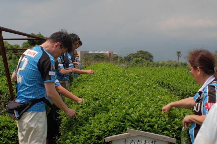 Picking Japanese green tea leaves near Shimizu Port, Japan