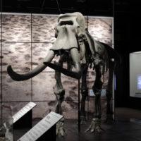 Naumann's Elephant