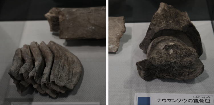 Fossils of Naumann's Elephant discovered in Japan(ナウマンゾウの骨)
