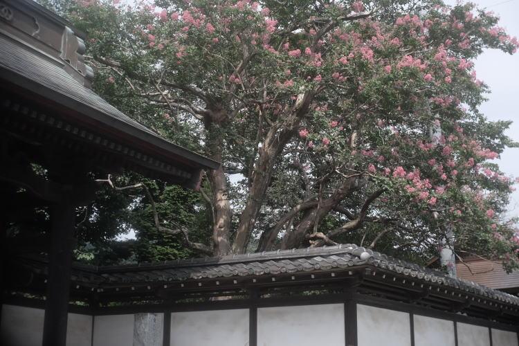 Sarusuberi flowers (crape myrtle) (さるすべりの花)