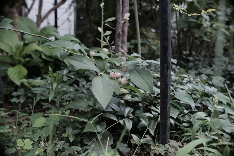 Blueberries in the garden of the Old Missionary House in Tokyo.