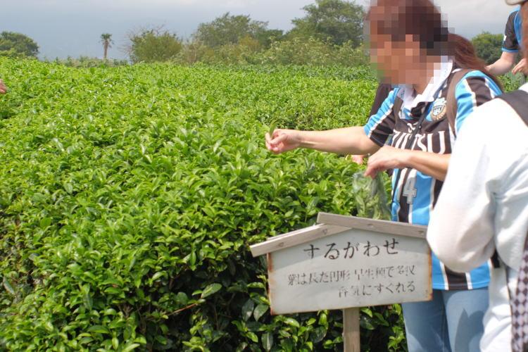 Picking green tea leaves at Nihondaira Ocha Kaikan in Shimizu, Japan. (日本平お茶会館)