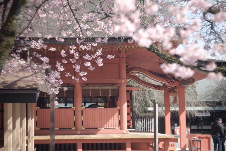 Japanese Shinto Shrine and cherry blossom