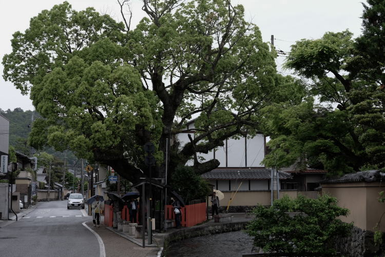 A giant camphor tree in Kyoto (社家町の大クスノキ)