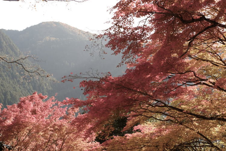A view from Gujo Hachiman Castle (郡上八幡城の紅葉)