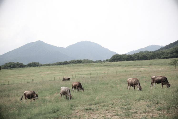 Jersey cattle in the Hiruzen Plateau, Okayama Prefecture (蒜山高原のジャージー牛)