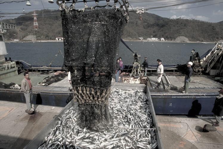 Landing sardines at the port of Sakai(境港のイワシの水揚げ)