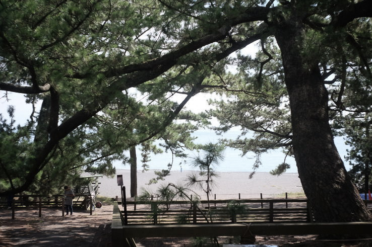 The legendary Hagoromo pine tree at Miho no Matsubara | 羽衣の松