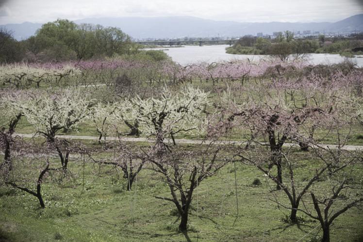 Peach orchard in Nagano (長野県の桃畑)