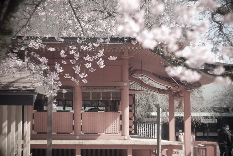 Japanese Shinto shrine with cherry blossoms (with a Summar 5cm f2)